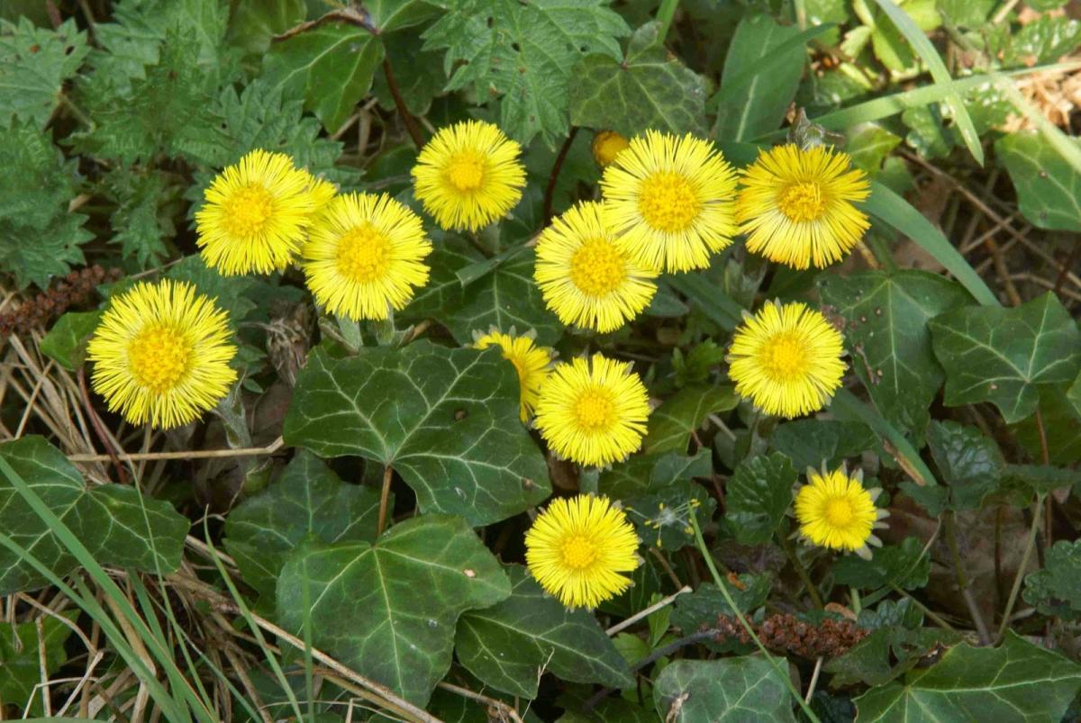 Coltsfoot-flowering 4vui3k