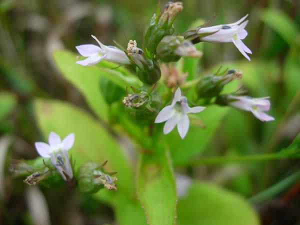 Lobelia-inflata-Indian-Tobacco-flowers R0xUWw